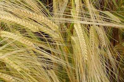 Посівний яровий ячмінь насіння сорт Вакула опис характеристика ціна купити в Україні