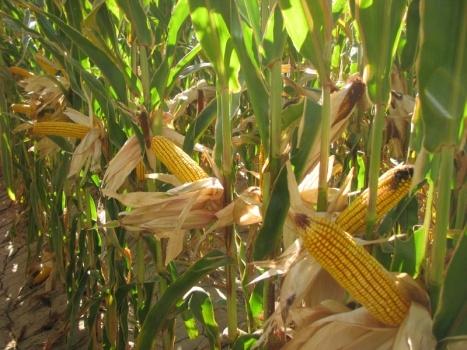 кукуруза гибрид Василий семена
