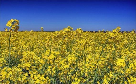 Семена рапса Вектра купить в Украине, описание гибрида, отзывы, цена, доставка