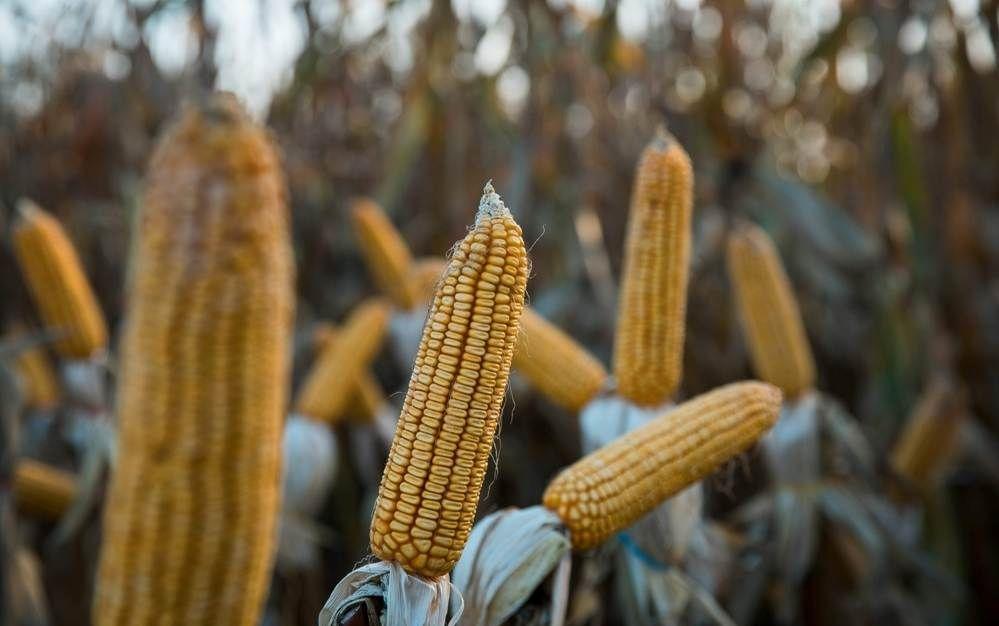 Гибрид кукурузы ДМ Виктория