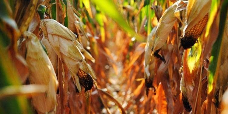 Гибрид кукурузы Вилия