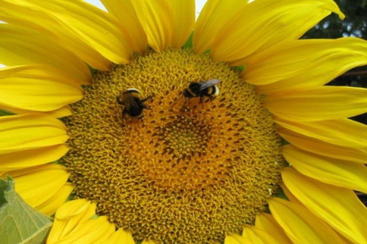 Семена подсолнечника Вниимк