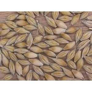 Посівний озимий ячмінь насіння сорт Росава опис характеристика ціна купити в Україні