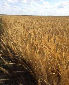 Посевной озимый ячмень семена сорт Селена Стар описание характеристика цена купить в Украине