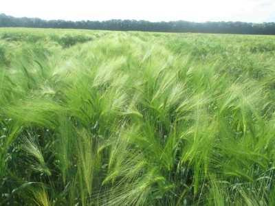 Посівний озимий ячмінь насіння сорт Тутанхамон опис характеристика ціна купити в Україні