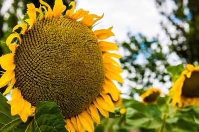 ЯСОН подсолнечник подсолнух семена гибрид описание характеристика цена купить в Украине