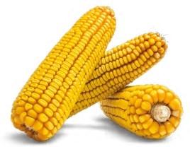 Гібрид кукурудзи Здобуток купити в Україні