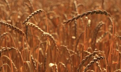 Семена спельты купить в Украине, Посевная спельта